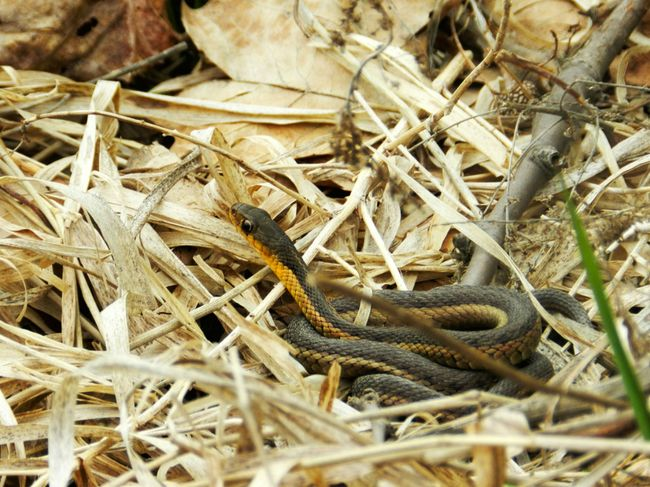 Young Snake Baby Snake Backgrounds Brown Close-up Curled Curled Up Day Dead Grass Detail Focus On Foreground Full Frame Ground Henry Ford Estate Hiss Little Snake Michigan Natural Pattern Nature No People Outdoors Reptile Selective Focus Snake Twig Yellow