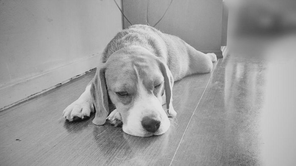 Black And White Monochrome Beagle Dog Sleeping Beagle Sleep Contrast EyeEm Blackandwhitephotography Black&white Animal Themes Pets Domestic Animals Beagles Of Eyyem Beaglelovers