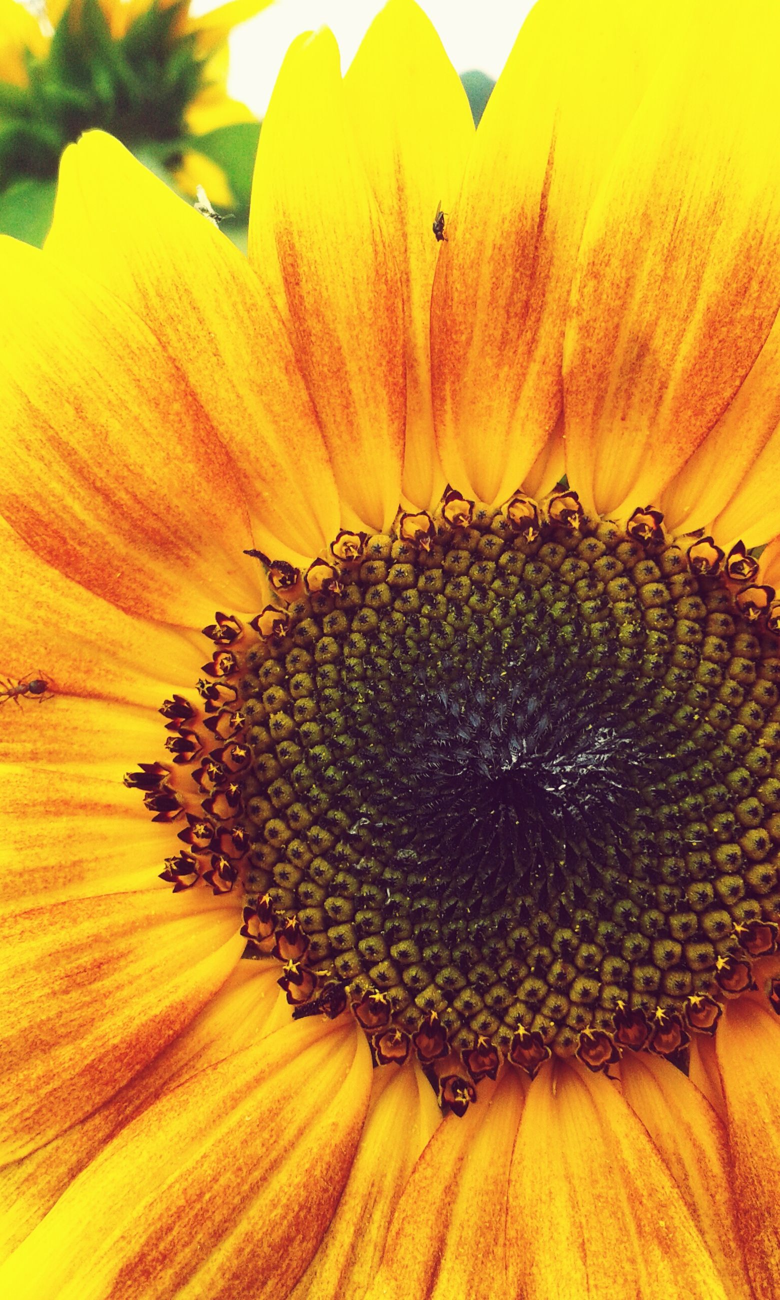 flower, yellow, petal, flower head, freshness, close-up, single flower, fragility, beauty in nature, sunflower, pollen, growth, nature, natural pattern, extreme close-up, blooming, full frame, plant, stamen, backgrounds