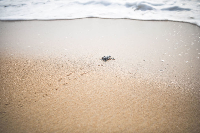 Beach Beauty In Nature Coastline Nature Non-urban Scene Sand Shore Turtle Turtles Sea Sea Creatures Eyem Nature Lovers  Nature Photography Wildlife Wildlife & Nature Return To Sea Footsteps In The Sand Hope Return Returning Home Footprints In The Sand