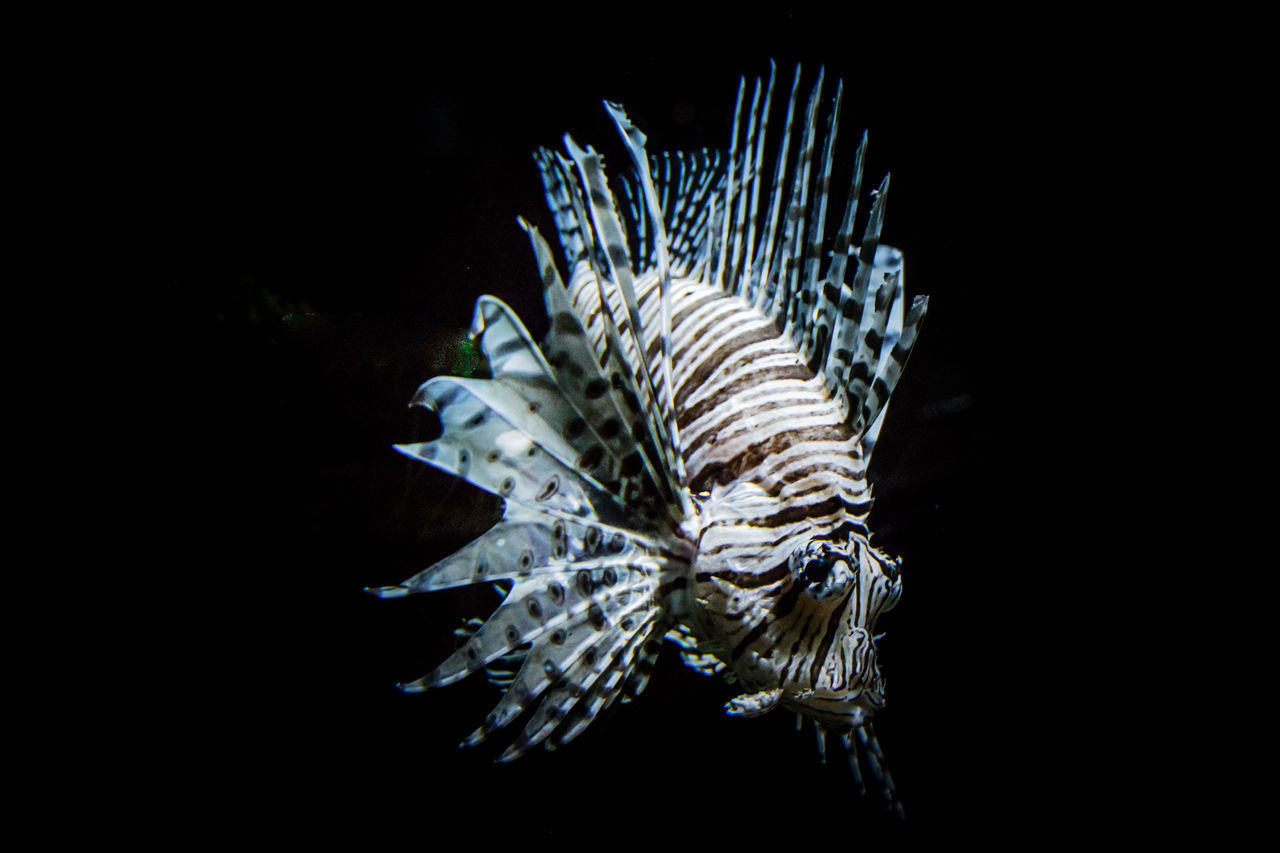 sea life, animal themes, underwater, one animal, animals in the wild, undersea, animal wildlife, fish, black background, no people, nature, sea, swimming, close-up, aquarium, beauty in nature, water, day