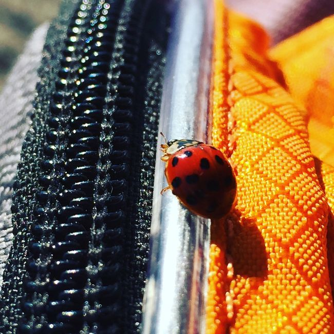Bug Bugslife Ladybug Hello World Hanging Out Enjoying Life Relaxing Hiking Backpack Hiking Bag Presidents Award Nature Surprise Taking Photos Mountain Hiking Red And Black