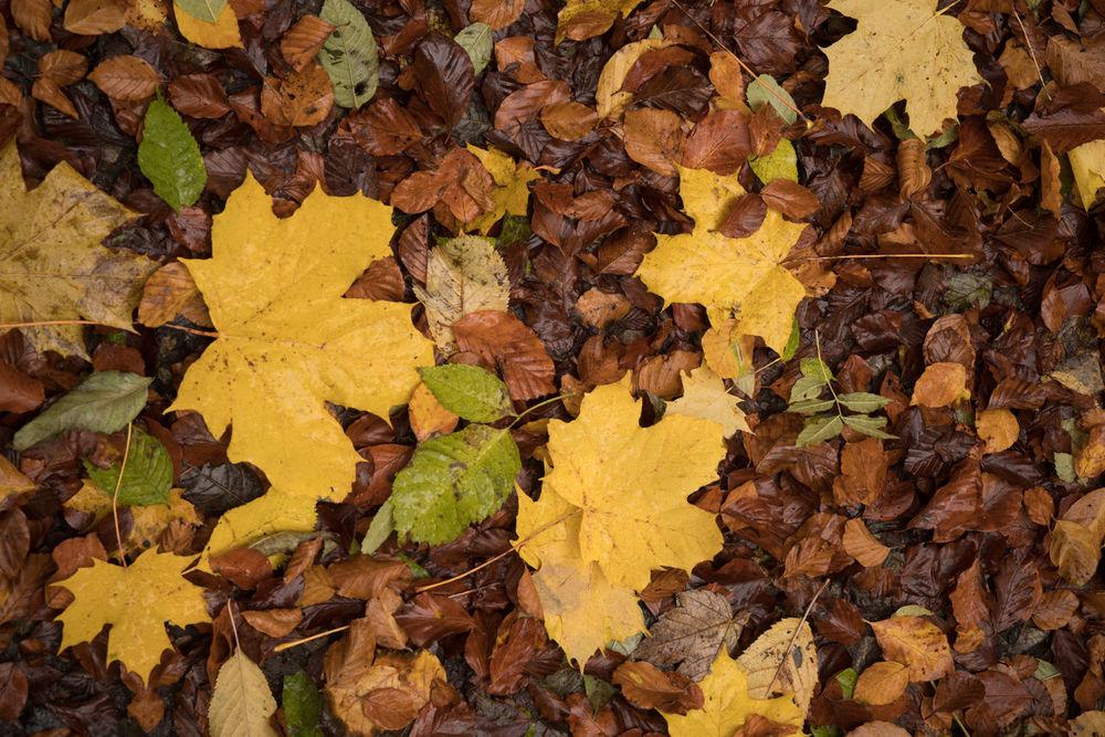 Autumn 8 Abundance Autumn Autumn Colors Autumn Leaves Background Photography Brown Cat  Brown Color Fallen Leaves Forest No People Outdoors Outdoors Photograpghy  Yellow Yellow Leaves