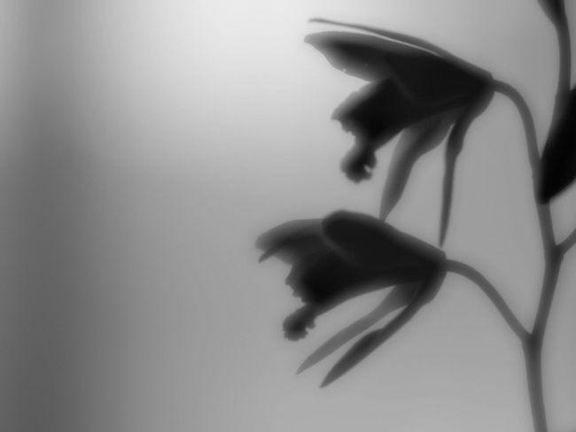Stillife Monochrome Bw_collection Blackandwhite Nature EyeEm Nature Lover Shillouette Flowerporn Flowers 紫蘭