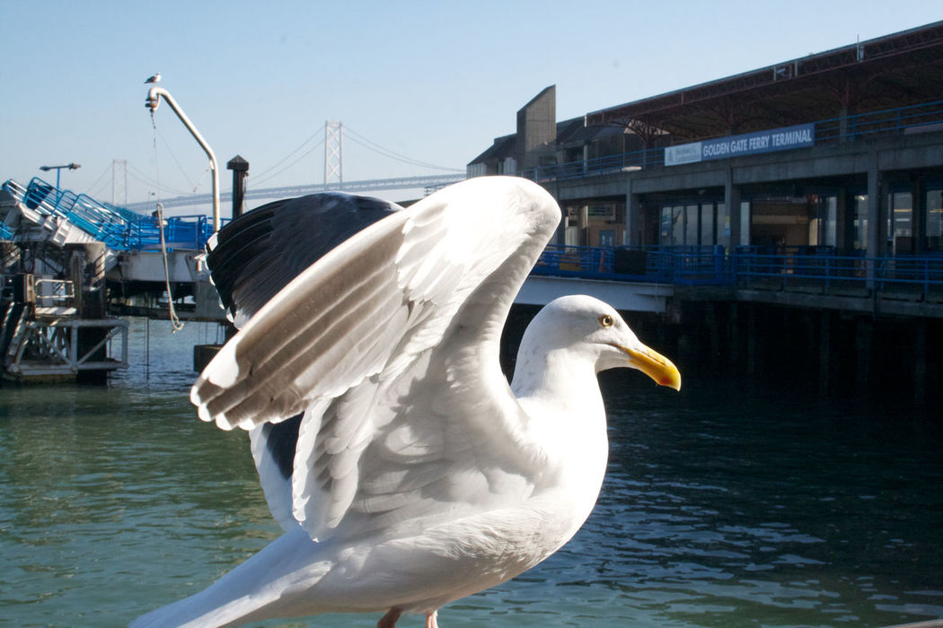 Animal Themes Animal Wing Animals In The Wild Architecture Battle Of The Cities Beak Bird Building Exterior Built Structure Day Flapping No People One Animal Outdoors Perching San Francisco Seagull Water Water Bird Waterfront White Color Wildlife Zoology