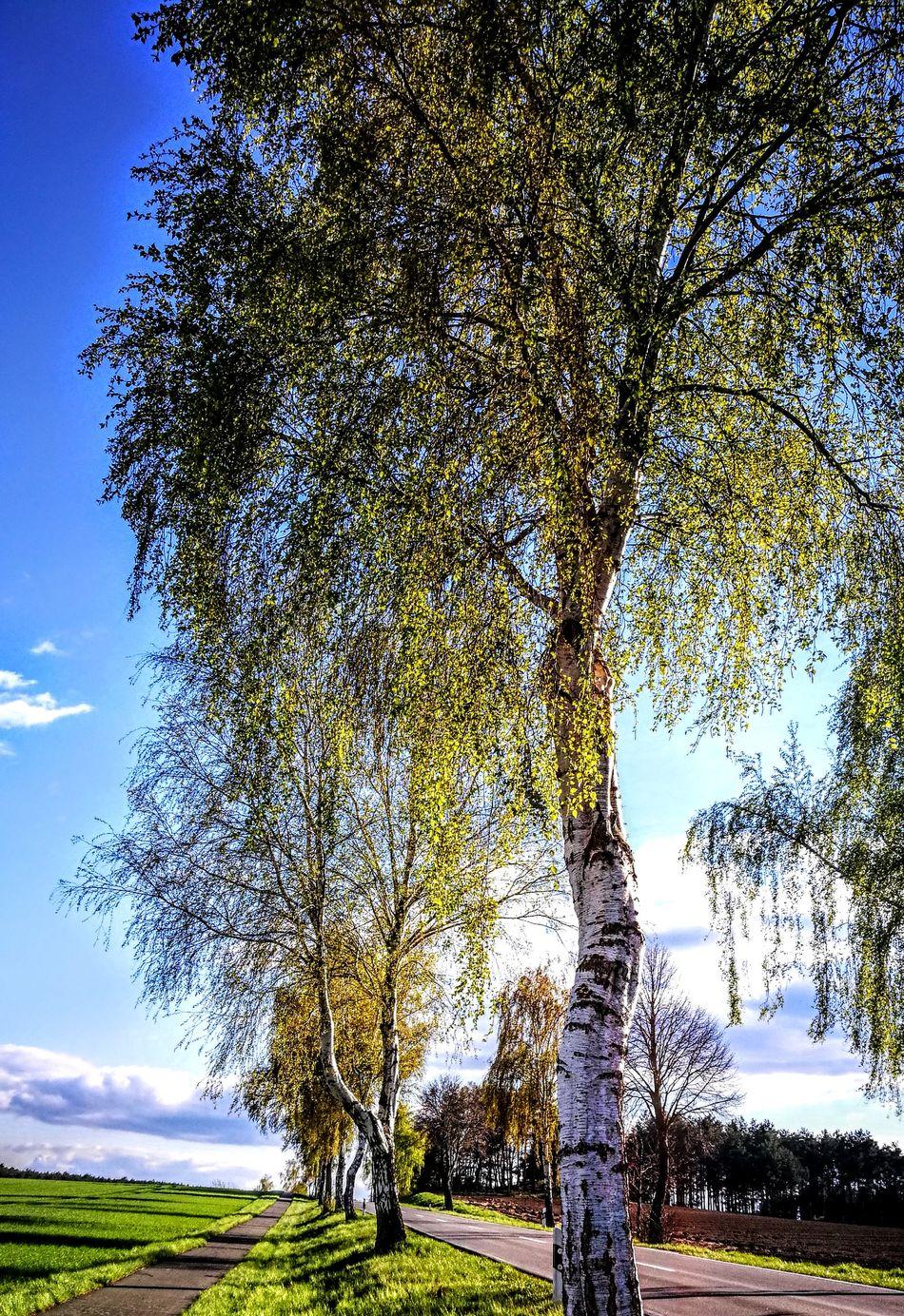 Birken beginnen zu blühen... Tree Growth Field Day Nature Sky Outdoors No People Beauty In Nature GetbetterwithAlex Originalpicture Silhouette Cloud - Sky Scenics Beauty In Nature