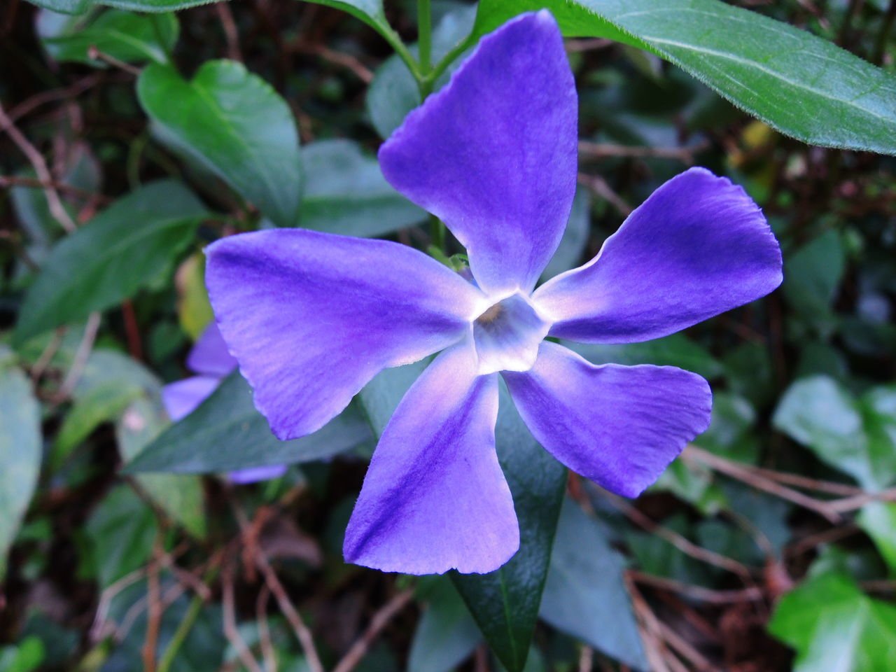 flower, petal, beauty in nature, fragility, nature, growth, purple, freshness, plant, flower head, outdoors, leaf, no people, day, close-up, blooming, periwinkle