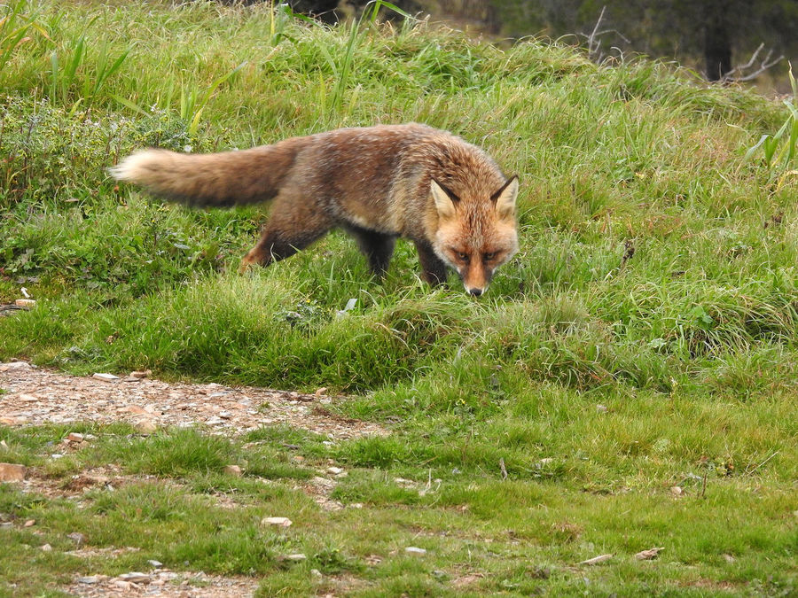 Animal Themes Animal Wildlife Animals In The Wild Day Fox Grass Mammal Nature Nature Photography Nature_collection Naturelovers No People One Animal Outdoors Sierra Morena Vulpes Vulpes Zorro