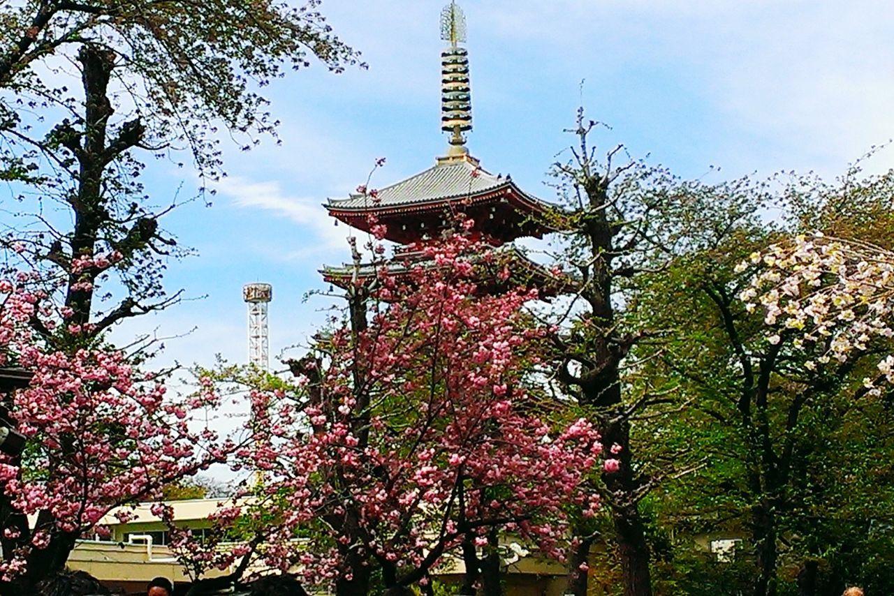 浅草寺境内 五重塔 Asakusa,tokyo,japan Five-storied Pagoda Flower