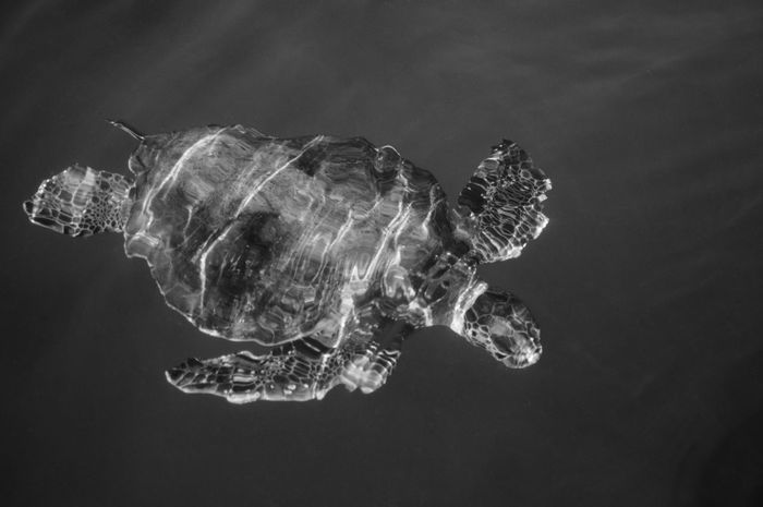 Beauty In Nature Black & White Blackandwhite Blackandwhite Photography Close-up Nature No People Outdoors Turtle Turtles Swimming Water Welcome To Black Reflection