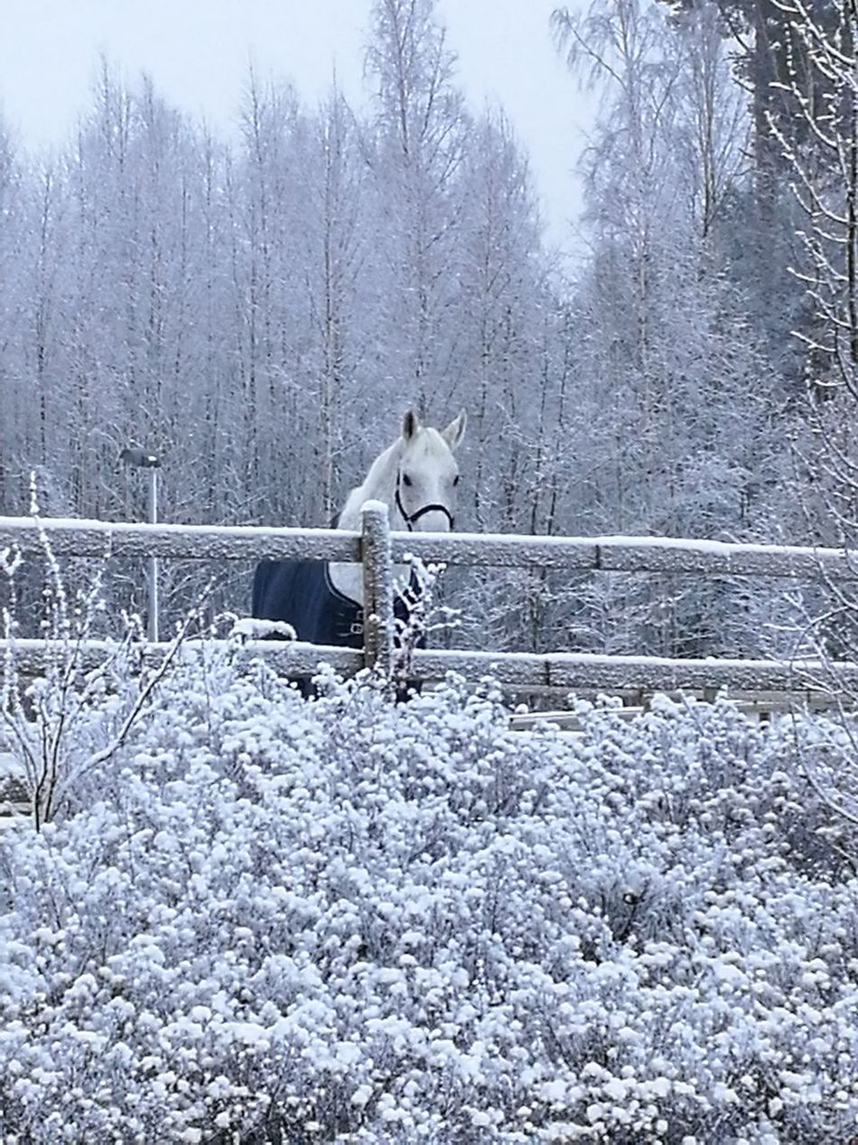 Winter, One Animal Animal Themes Winter Mammal Domestic Animals Snow Cold Temperature Tree No People Outdoors Nature Sky Snowing Day horze Beauty In Nature Winter Snowflake Full Frame Backgrounds