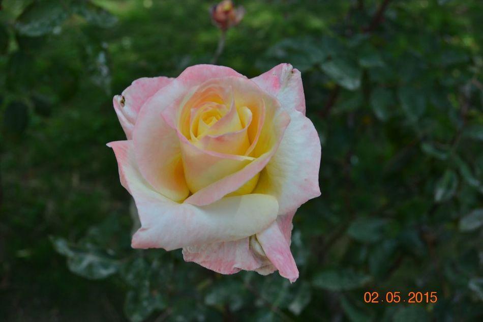 Rosebud White Yellow Pink Mixcolour EyeEm Nature Lover Nikonphotography