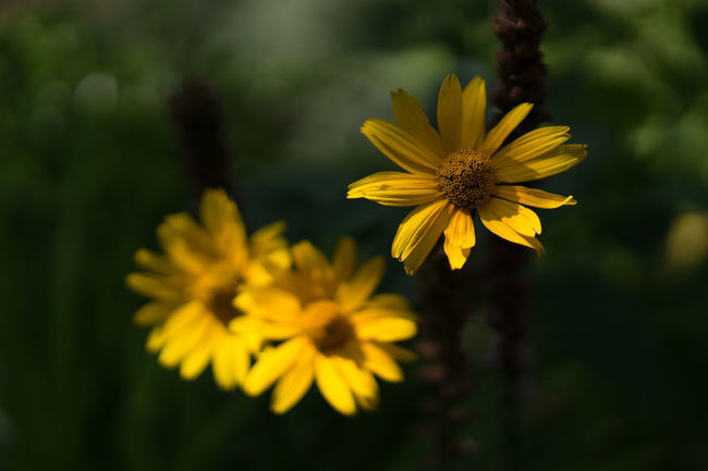 Beauty In Nature Black-eyed Susan Blooming Blossom Botany Close-up Daisy Day Flower Flower Head Focus On Foreground Fragility Freshness Growth In Bloom Nature Outdoors Petal Plant Pollen Season  Springtime Stem Vibrant Color Yellow