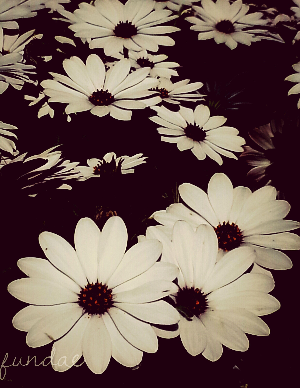 Flowers Gardens Papatya Daisys Istanbula bahar geldi