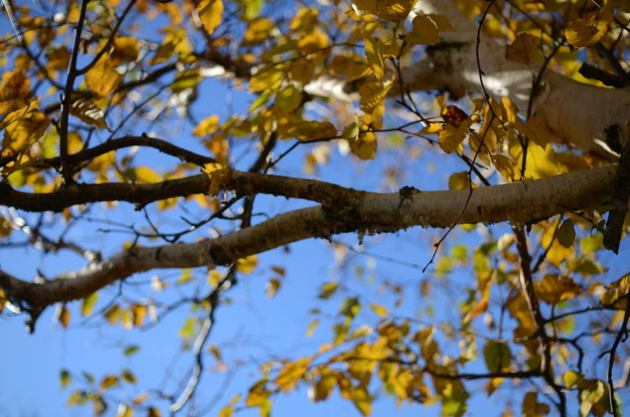 Autumn Autumn Colors Autumn Leaves Birch Tree Blue Sky Branch Close-up Leaf Low Angle View Nature Silver Birch Silver Birch Trees Sunlight Tree White Bark