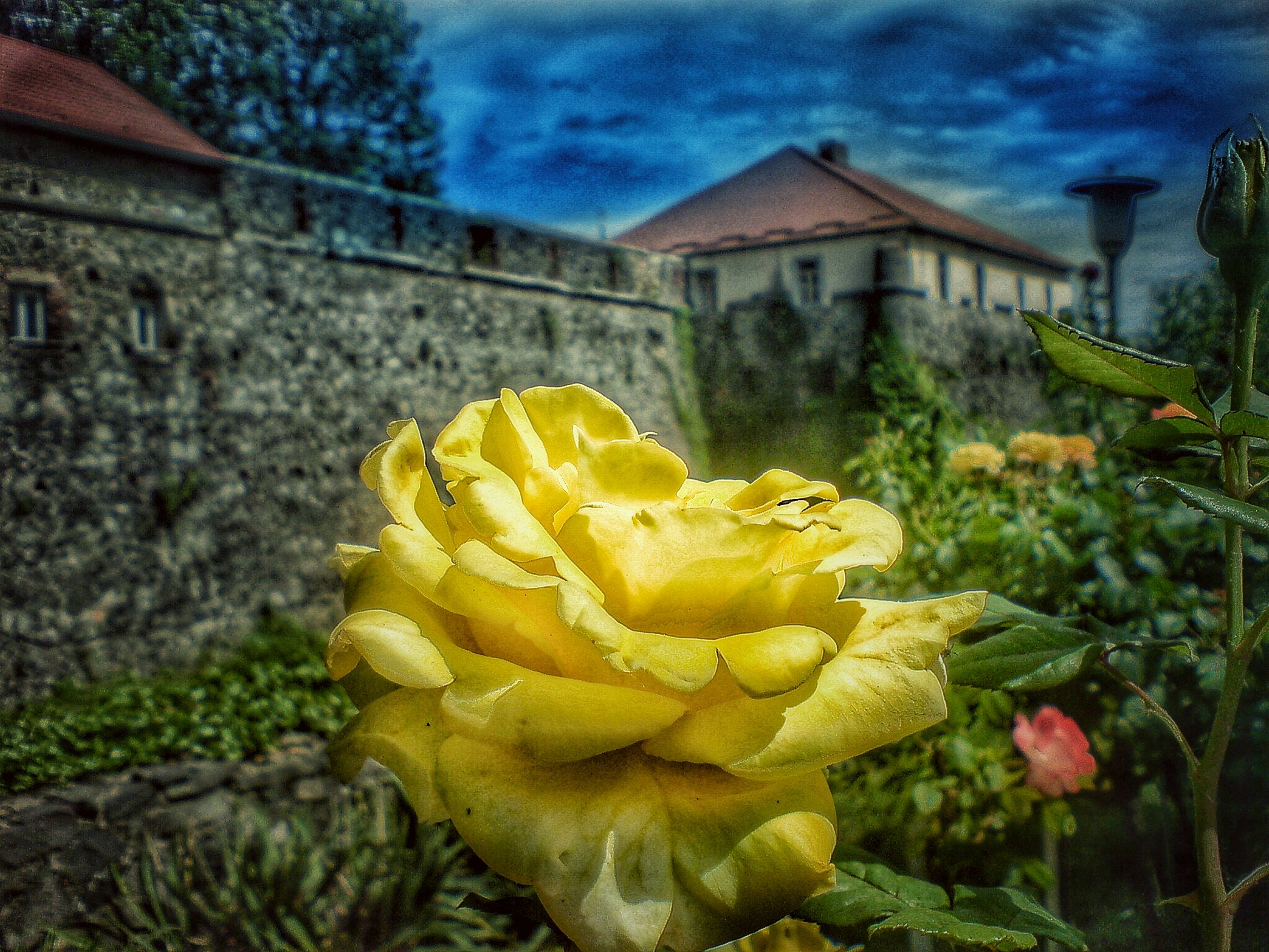 building exterior, flower, yellow, architecture, built structure, freshness, fragility, plant, petal, growth, focus on foreground, flower head, close-up, leaf, outdoors, day, nature, blooming, front or back yard, beauty in nature