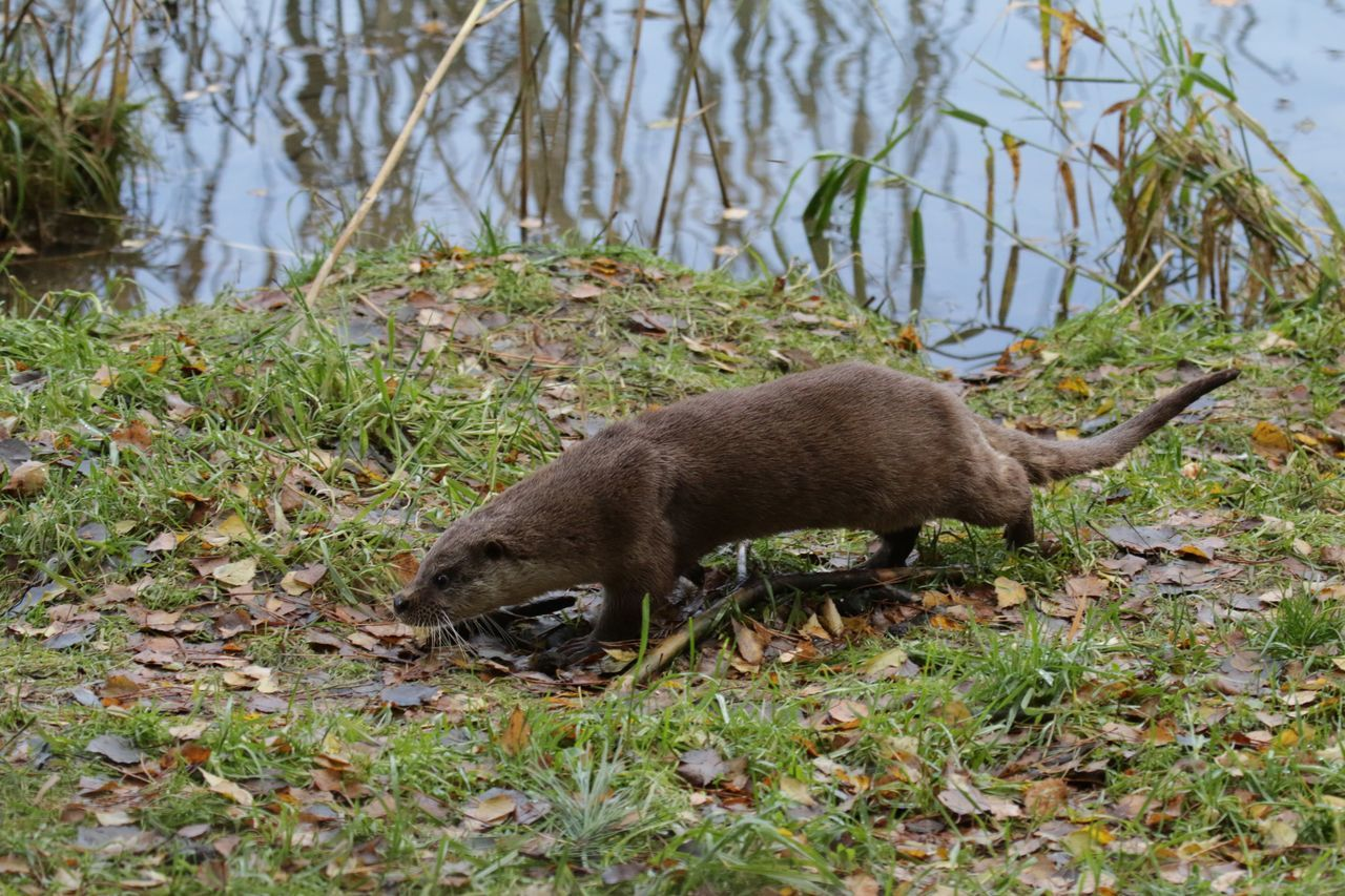 Animal Themes One Animal Animals In The Wild Grass Animal Wildlife Outdoors No People Nature Mammal Day Otter Otters Fishotter Fischotter