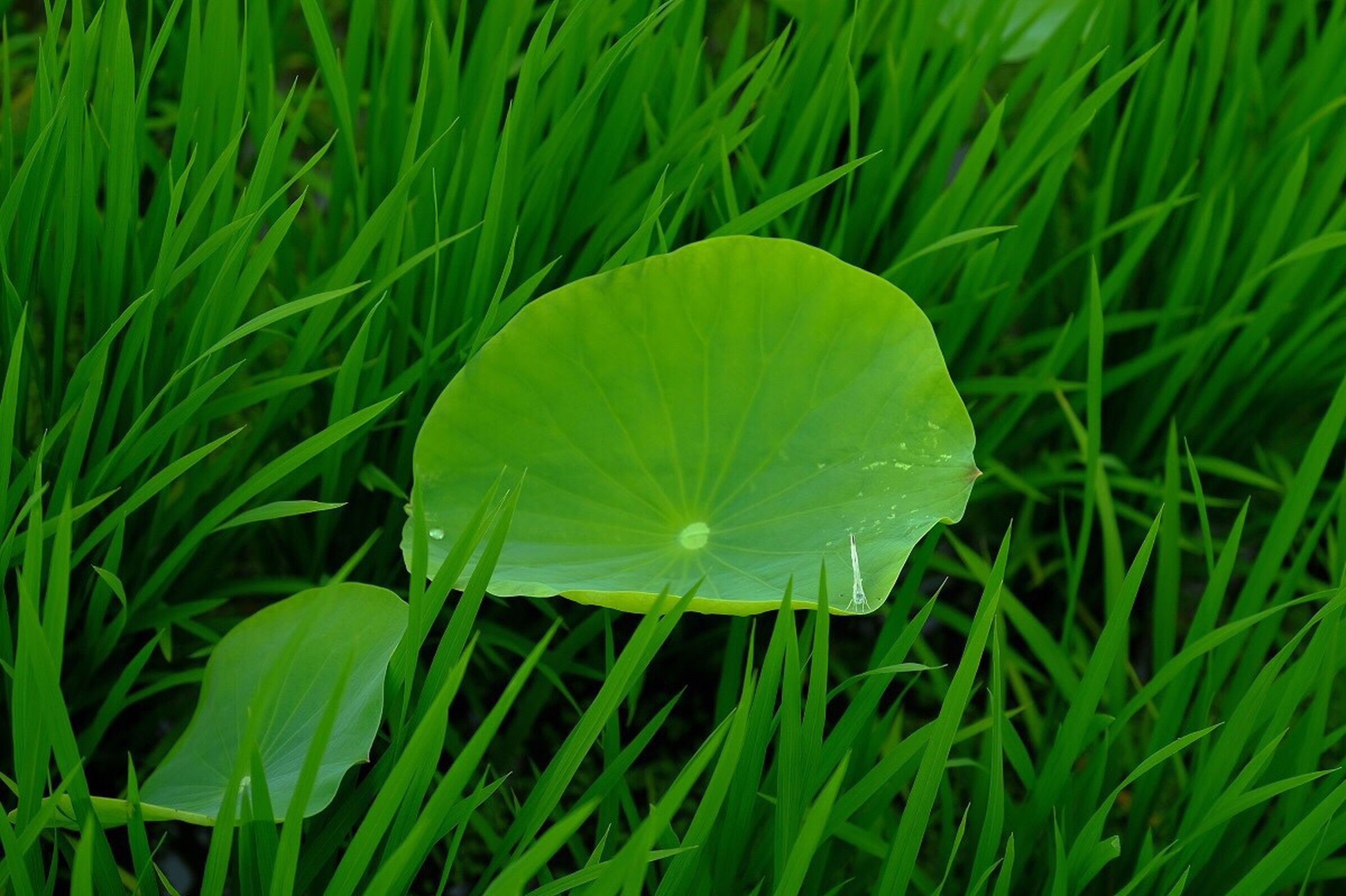 grass, green color, growth, water, nature, leaf, plant, beauty in nature, blade of grass, freshness, field, close-up, tranquility, dew, green, outdoors, no people, day, grassy, fragility, selective focus, lush foliage, growing, focus on foreground, tranquil scene, backgrounds, scenics