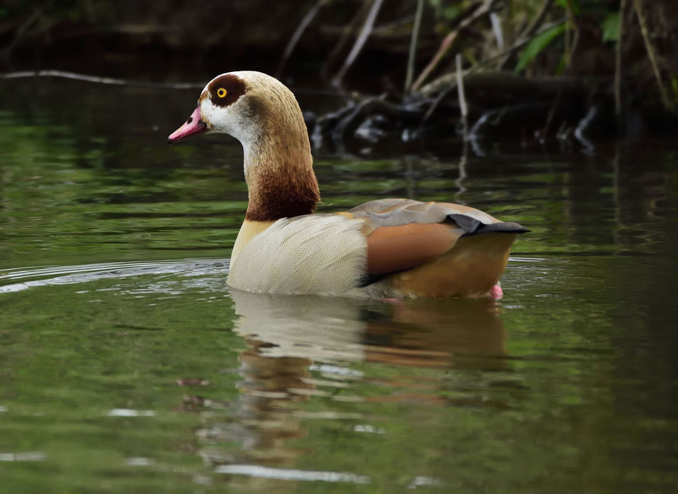 Alopochen Aegyptiacus Animal Themes Animal Wildlife Animals In The Wild Beauty In Nature Bird Bird Photography Birds Birds Of EyeEm  Birds_collection Close-up Duck Egyptian Goose Nature Nature Nature Photography Nature_collection Naturelovers One Animal Reflection Swimming Water Water Bird Wildlife Wildlife & Nature