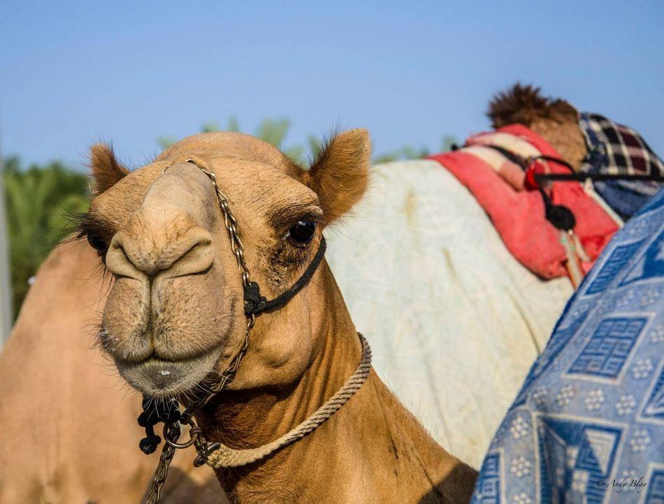 Beautiful stock photos of dubai, Animal Head, Animal Themes, Camel, Clear Sky