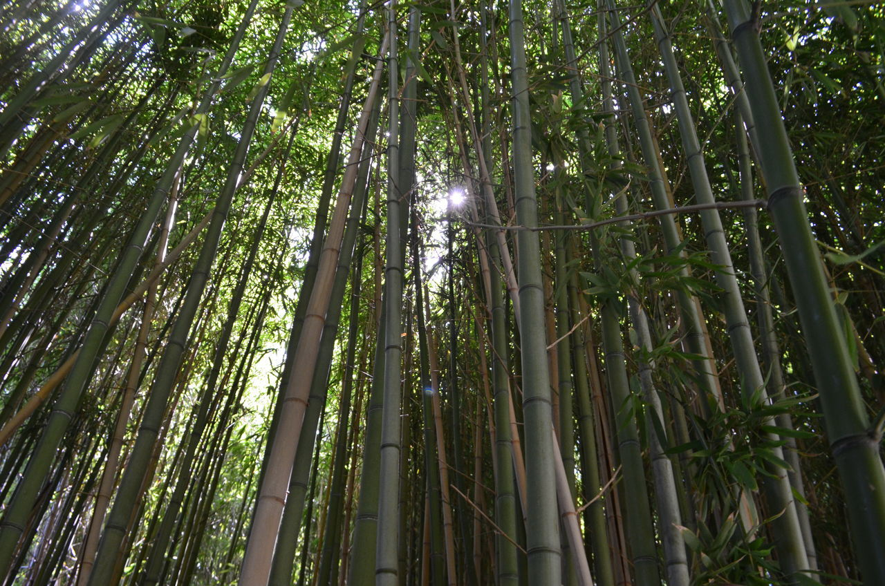 Bamboo Forest, Fort Worth Botanic Garden Abundance Bamboo - Plant Bamboo Forest Bamboo Grove Beauty In Nature Day Forest Fort Worth Fort Worth Botanical Gardens Green Color Growth Low Angle View Nature No People Outdoors Texas Tree