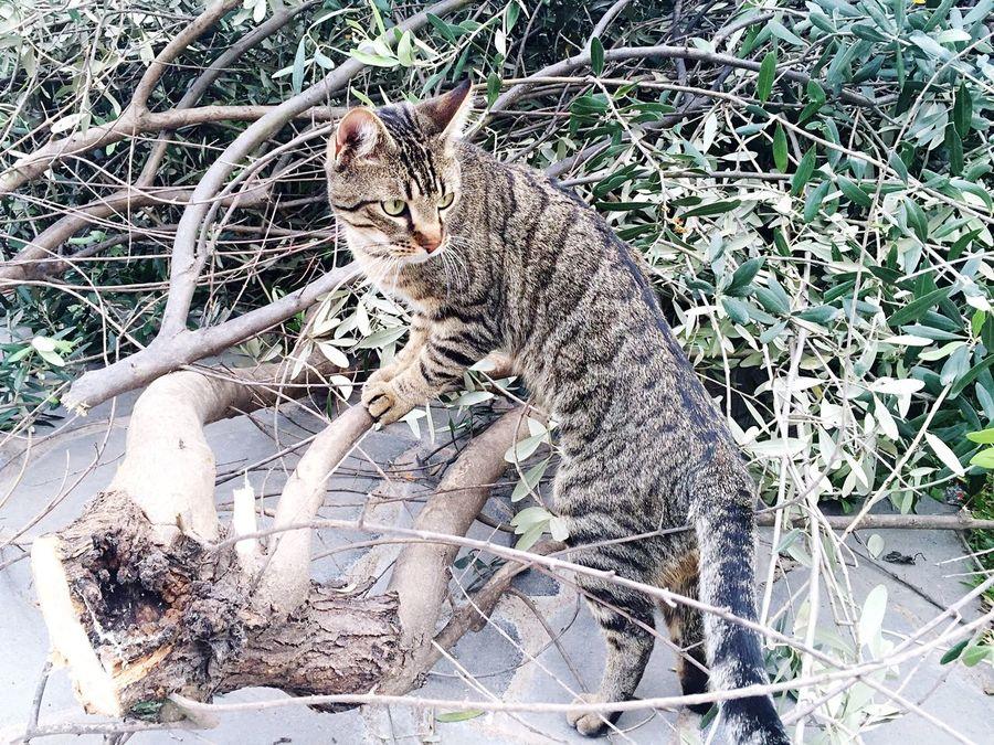 Wild _2 Cat Pet Tree Olive Tree Ulivo Nature Gatto Gattotigrato Feline