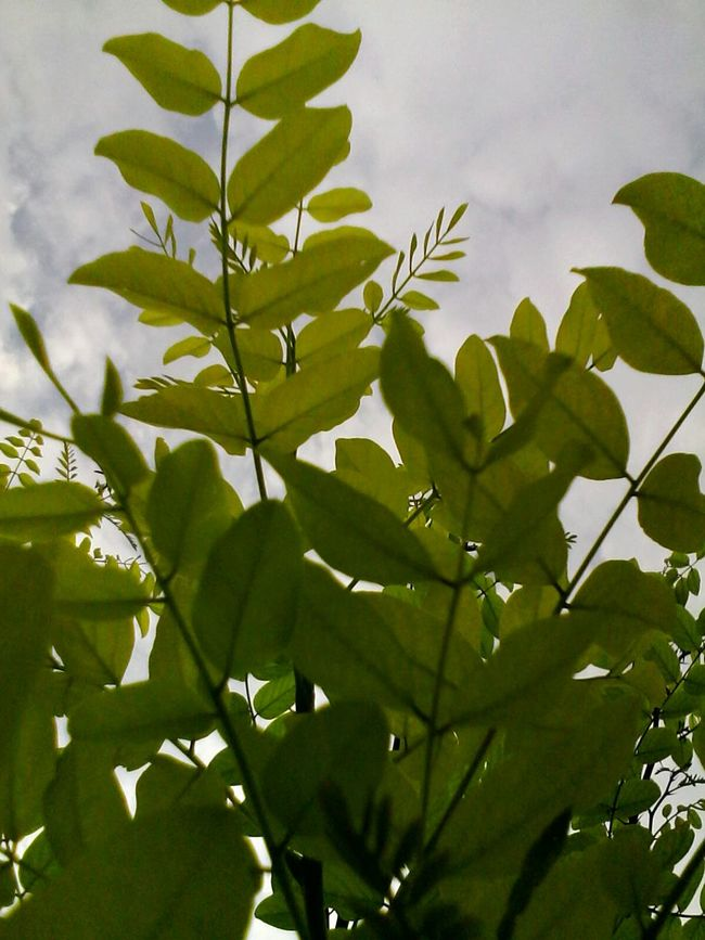 Leaf Growth Low Angle View Branch Nature Plant Sky Beauty In Nature Outdoors 2016 Acacia Tree Acacia Tree Showcase: 2016 Wolfzuachis Ionitaveronica @wolfzuachis Eyeem Market No People Eyeemphoto Close-up Leaves Freshness Growing Scenics