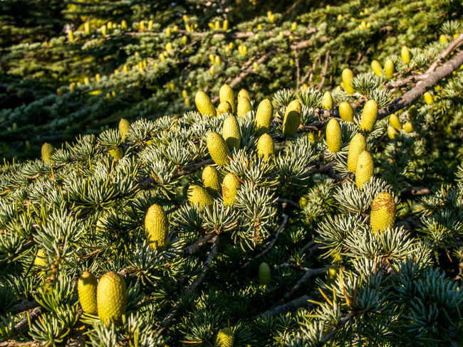 Beauty In Nature Botany Branch Cedar Cedrus Cone Crimea Day Detail Focus On Foreground Green Green Color Large Group Of Objects Nature Outdoors Plant Selective Focus Sevastopol