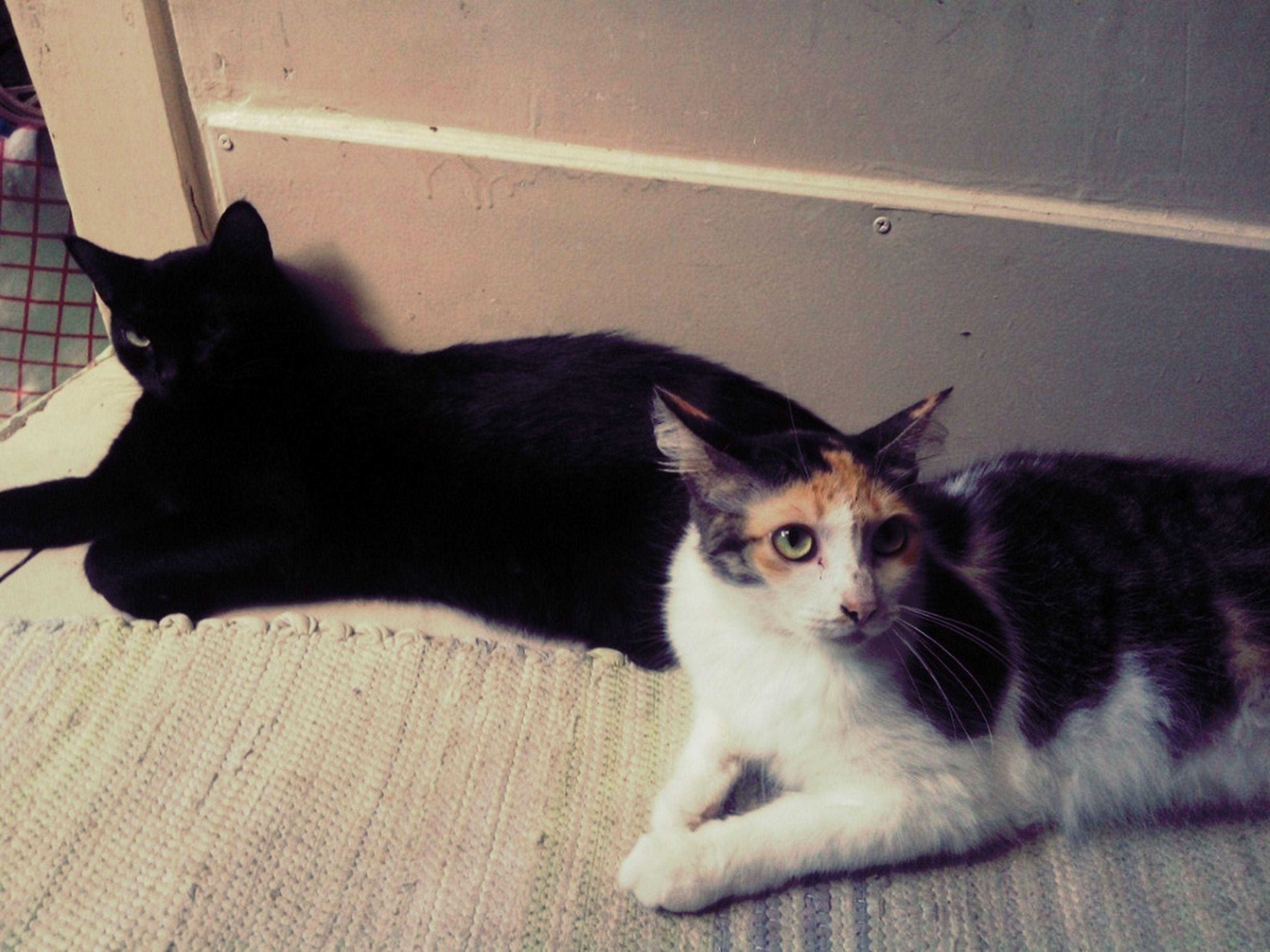 pets, domestic animals, domestic cat, cat, animal themes, mammal, one animal, feline, portrait, looking at camera, indoors, whisker, relaxation, lying down, sitting, two animals, home interior, alertness, resting, flooring