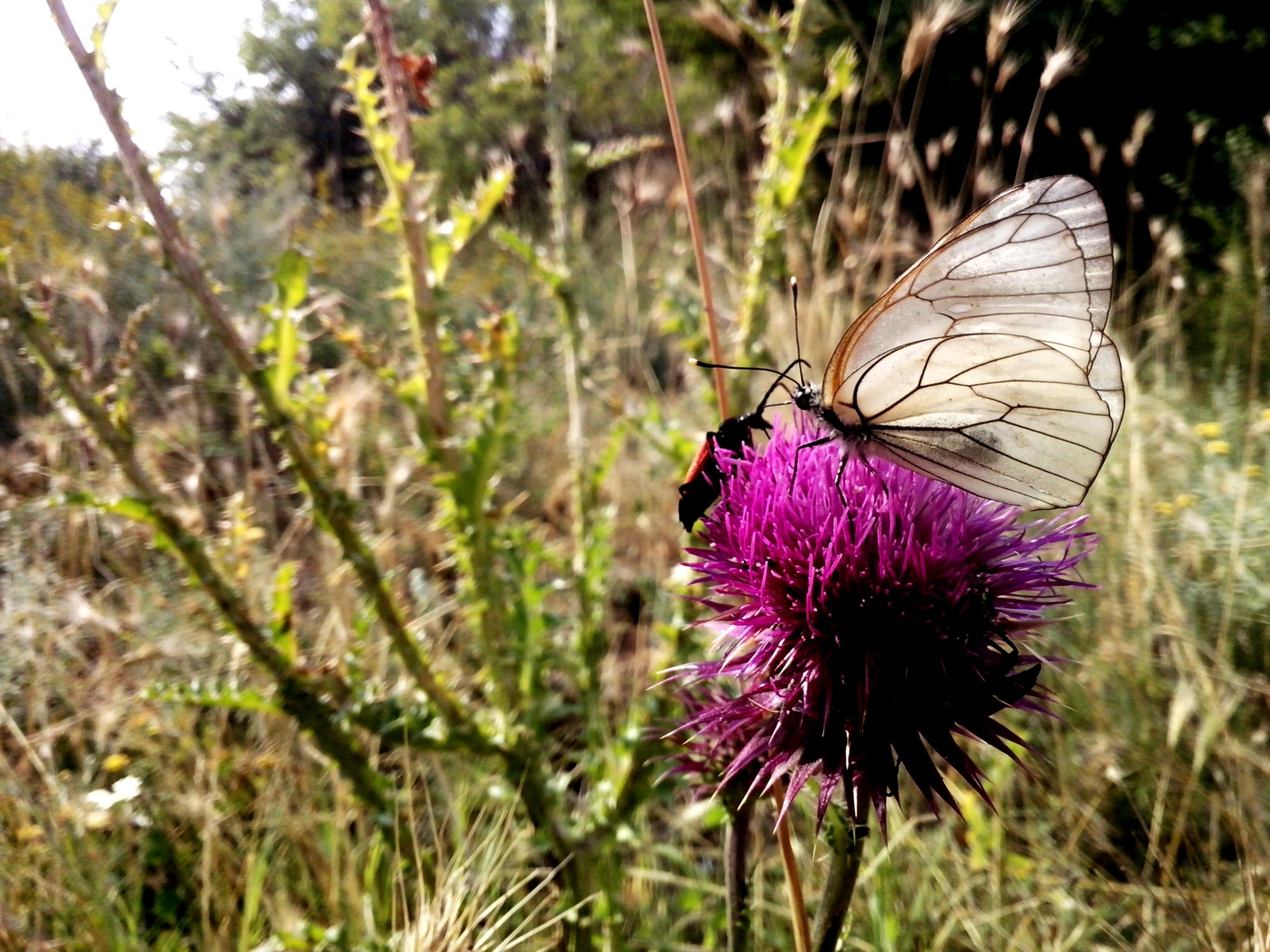 flower, growth, focus on foreground, purple, fragility, plant, close-up, nature, freshness, beauty in nature, pink color, animals in the wild, field, thistle, insect, wildlife, one animal, butterfly - insect, flower head, butterfly