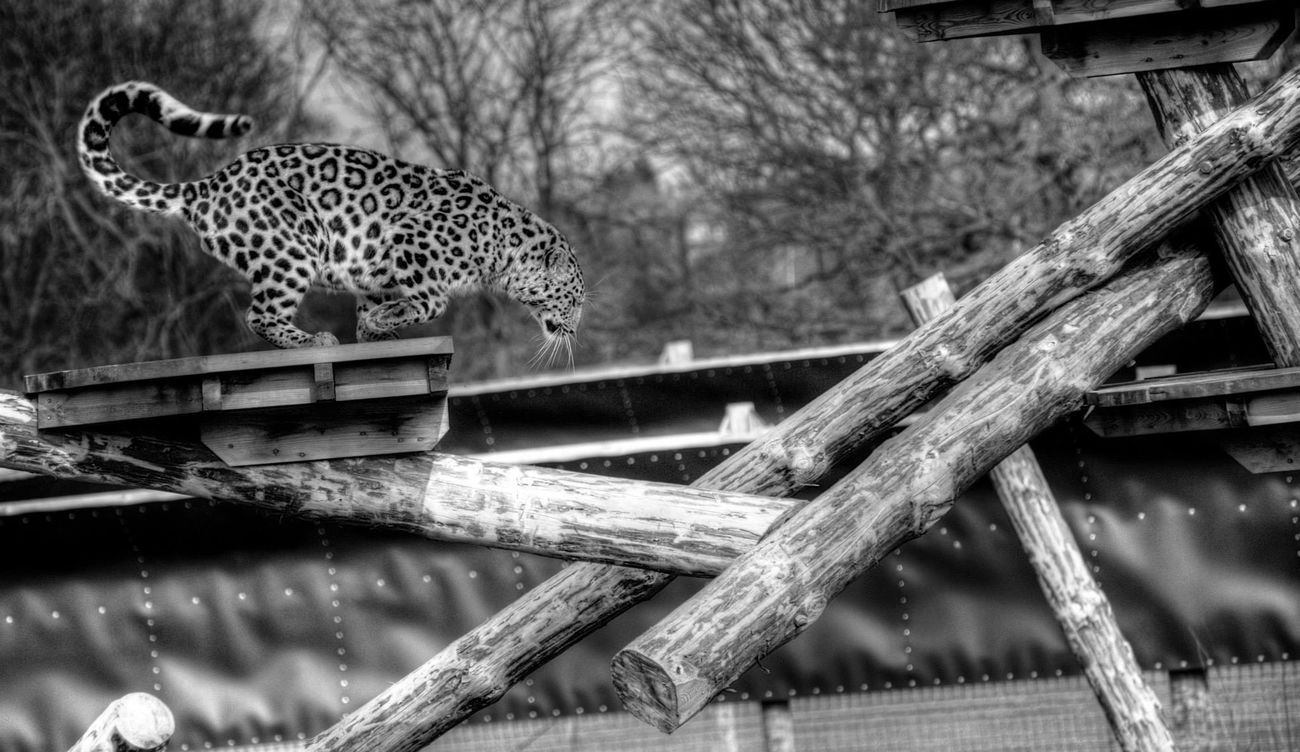 Yorkshire Wildlife Park Yorkshire Wildlife Park Leopard Zoo Blackandwhite Black And White