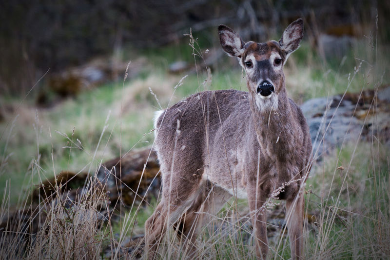 Animal Themes Animal Wildlife Animals In The Wild Day Deer Field Grass Looking At Camera Mammal Nature No People One Animal Outdoors Portrait Standing