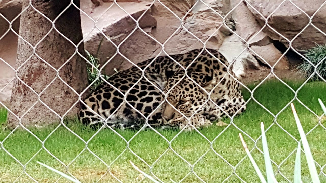 Leopard Chainlink Fence Fence Grass Nature Close-up Metal Day No People Cage Zoo Sleeping Lay Cat Exotic Curl Mirage Leopard Print Black Leopard Awake