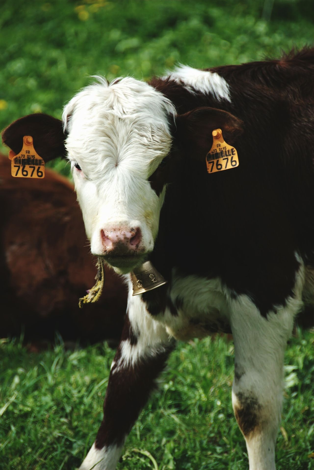 Livestock Looking At Camera Cow Agriculture Animal Head  Animal Themes Cattle Tags Ears Grass Outdoors Notre Dame Du Pre