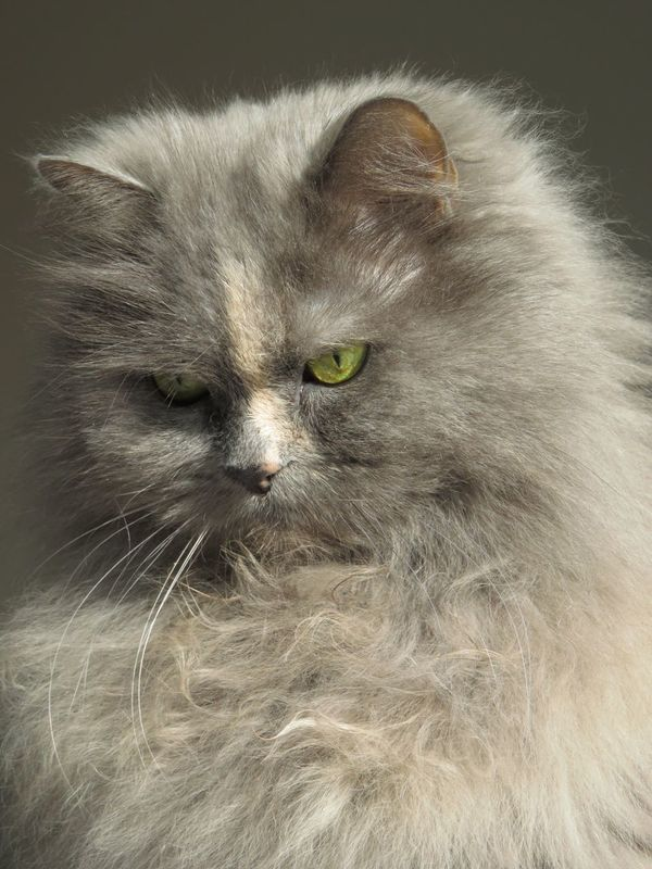 Longhaired Cats My Ofelia Domestic Animals Cats Persian Mix Most Beautiful Cat In The World One Animal Pets Domestic Cat Close-up Feline Cat Beauty Soft Sweet Good Feeling Denmark Things We Love So Beautiful  Cozy Cat Veterinarian Animals Cats EyeEm Best Shots Pets Photography