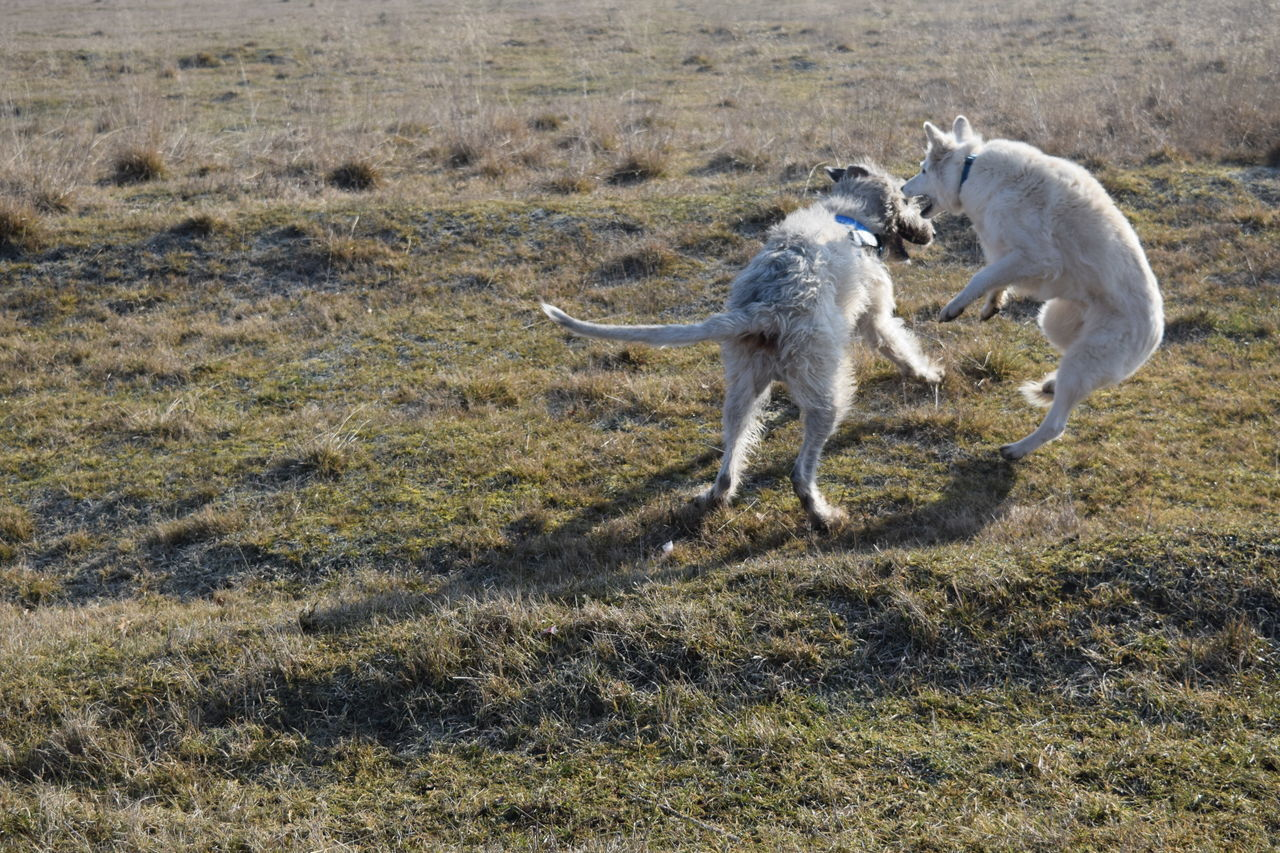 Animal Themes Play White ShepherdDog Domestic Animals Field Grass Outdoors How Is The Weather Today? February 2017 Winter 2017 Cearnaigh Irish Wolfhound Dogslife Dogs Of EyeEm Dogwalk Take A Walk In The Park Dog