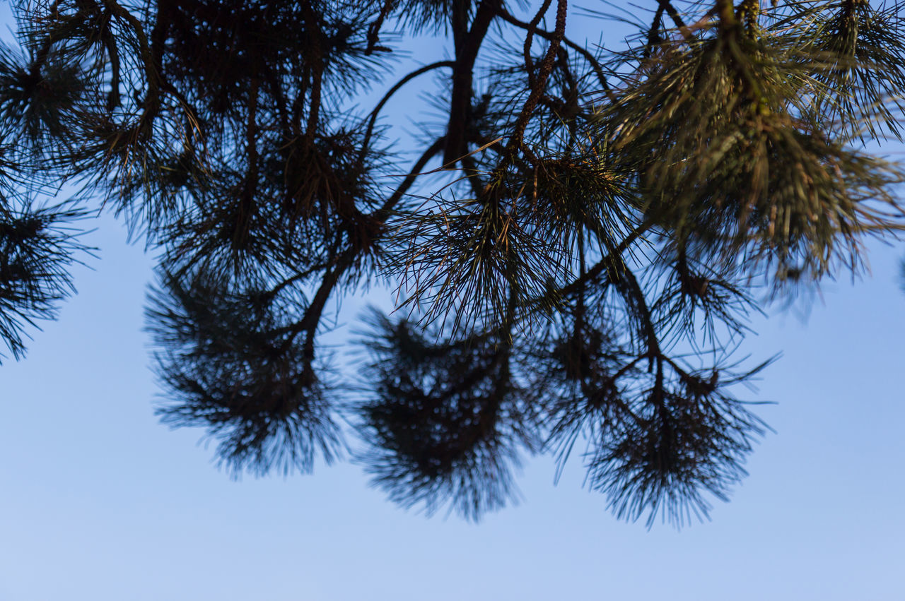 Pine evergreen tree against blue sky Branch Close-up Day Evergreen Growth Low Angle View Nature No People Outdoors Outdoors Photograpghy  Sky Tranquility Tree