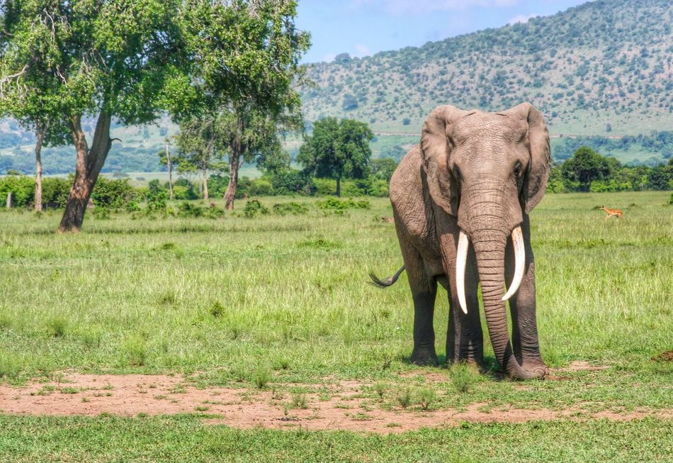 Beautiful stock photos of elephant, Adult Animal, Animal, Animal Themes, Animals In The Wild