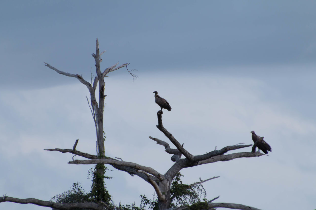 Vultures in a tree in Saadani National Park Animal Wildlife Animals In The Wild Bare Tree Bird Branch Day Living Organism Nature No People Outdoors Perching Tree Tree Area Tree Trunk Vultures Vultures In A Tree Vultures Observing