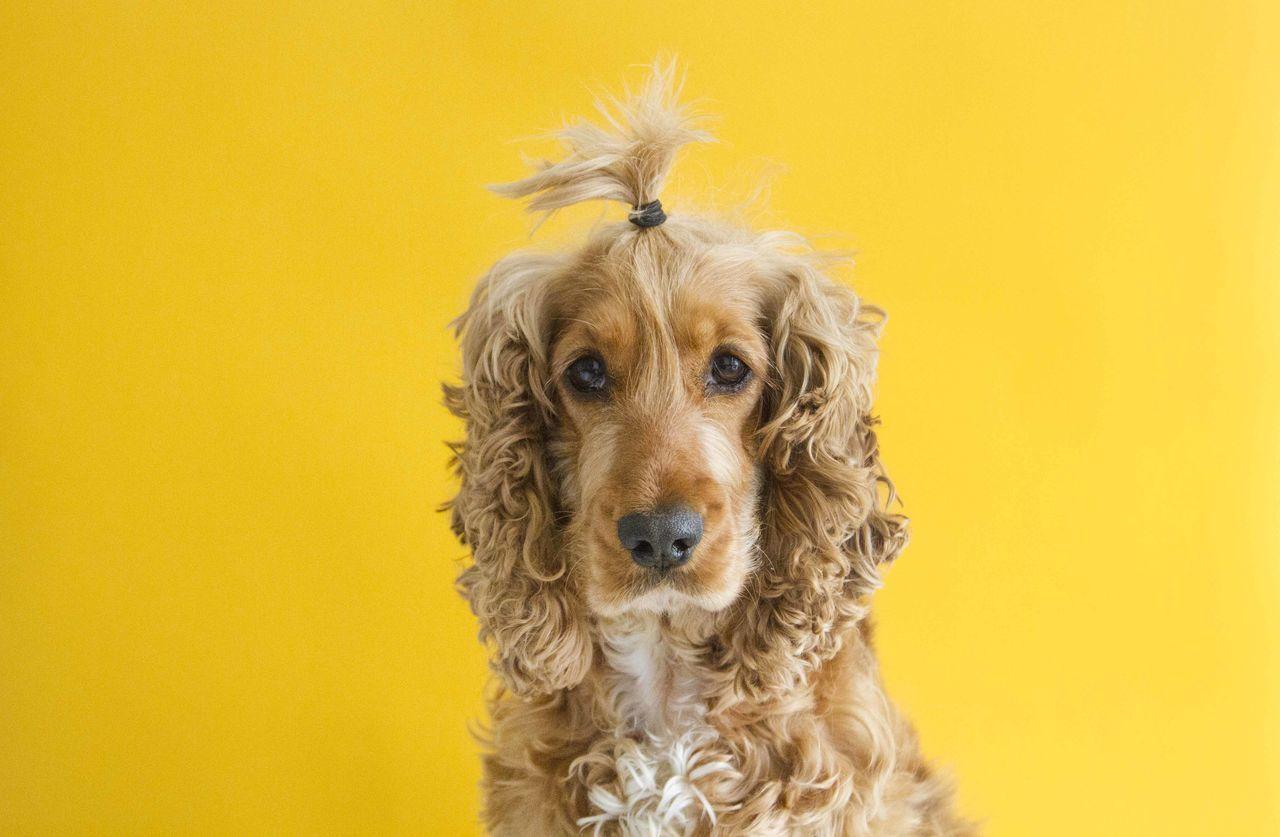 Dog Yellow Hair Spaniel Fun Bright Market Bestsellers September 2016 Bestsellers