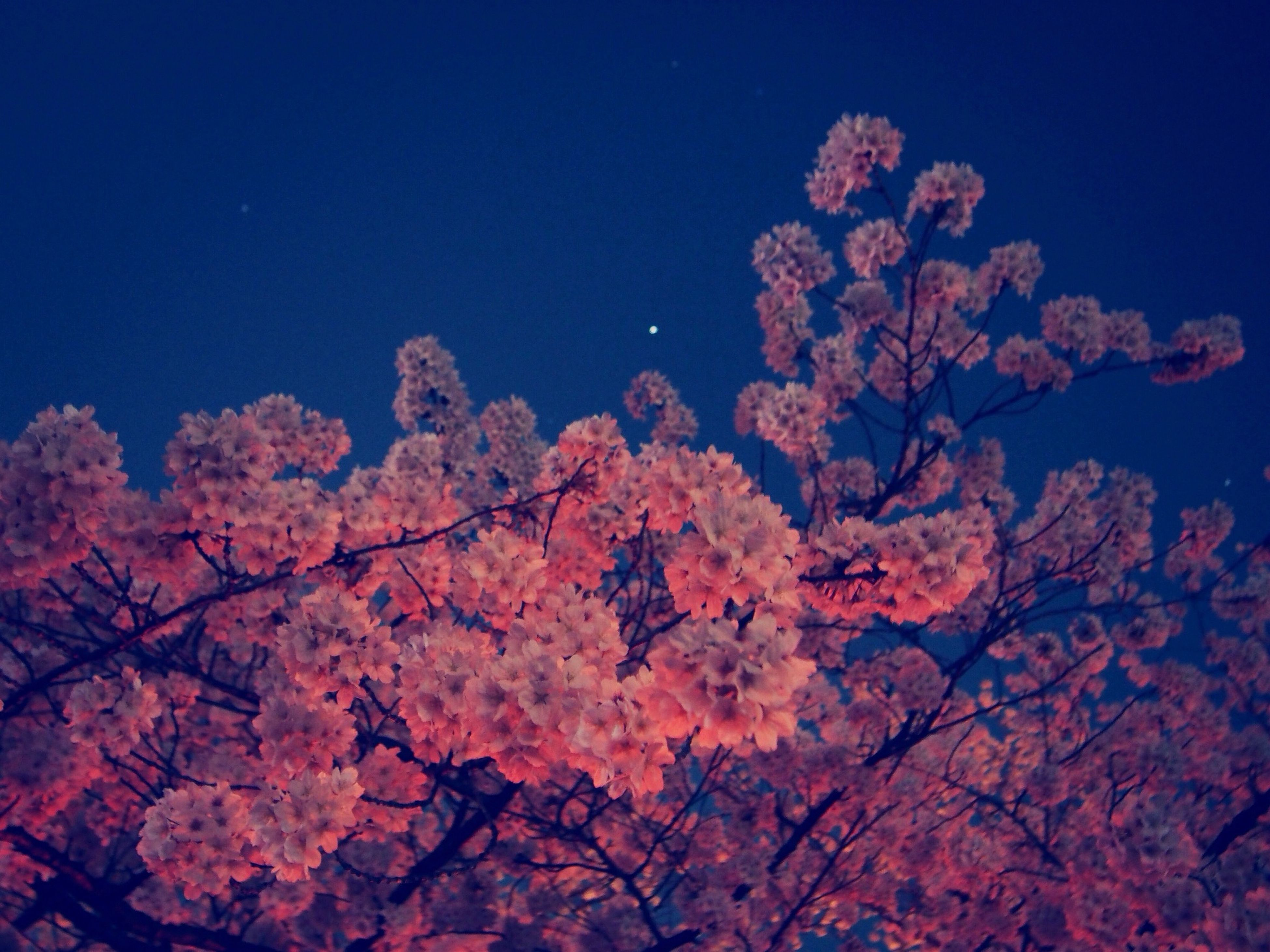 tree, low angle view, branch, clear sky, growth, flower, beauty in nature, blue, nature, freshness, sky, blossom, copy space, tranquility, pink color, high section, scenics, outdoors, fragility, no people