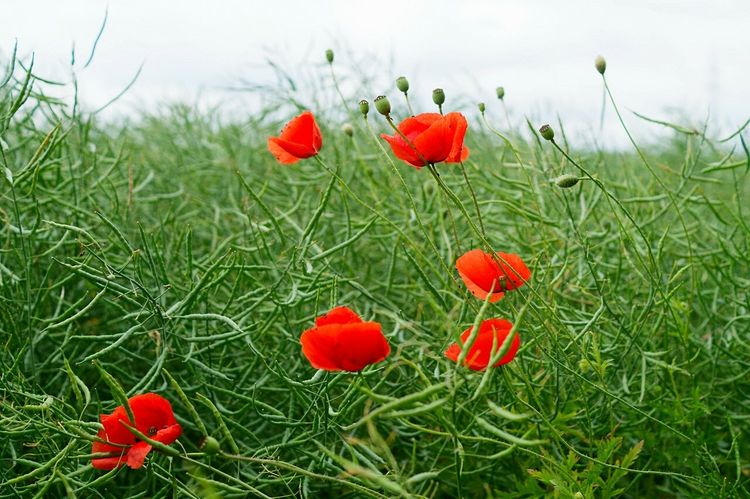 Red on green Flower Red Growth Nature Poppy Plant Outdoors Beauty In Nature Day No People Field Freshness Fragility Flower Head Colza Colza Field Brunswick Braunschweig Germany