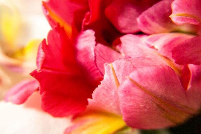 花の夢 Tulip Olympus Olympus E-P3 Photography EyeEm Flower EyeEm Best Shots チューリップ Flowers