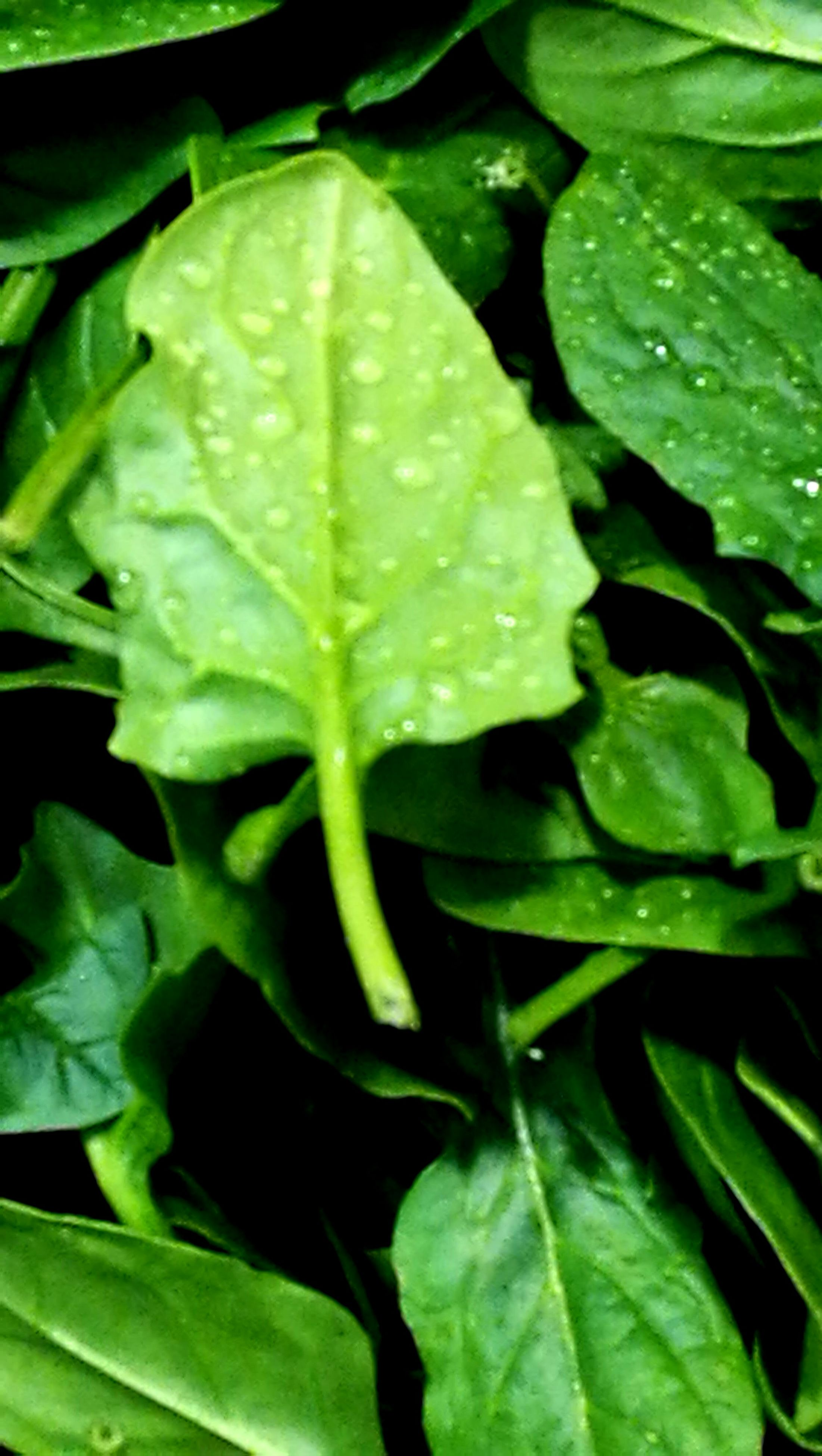 leaf, green color, nature, plant, growth, freshness, no people, close-up, fragility, water, backgrounds, beauty in nature, day, outdoors
