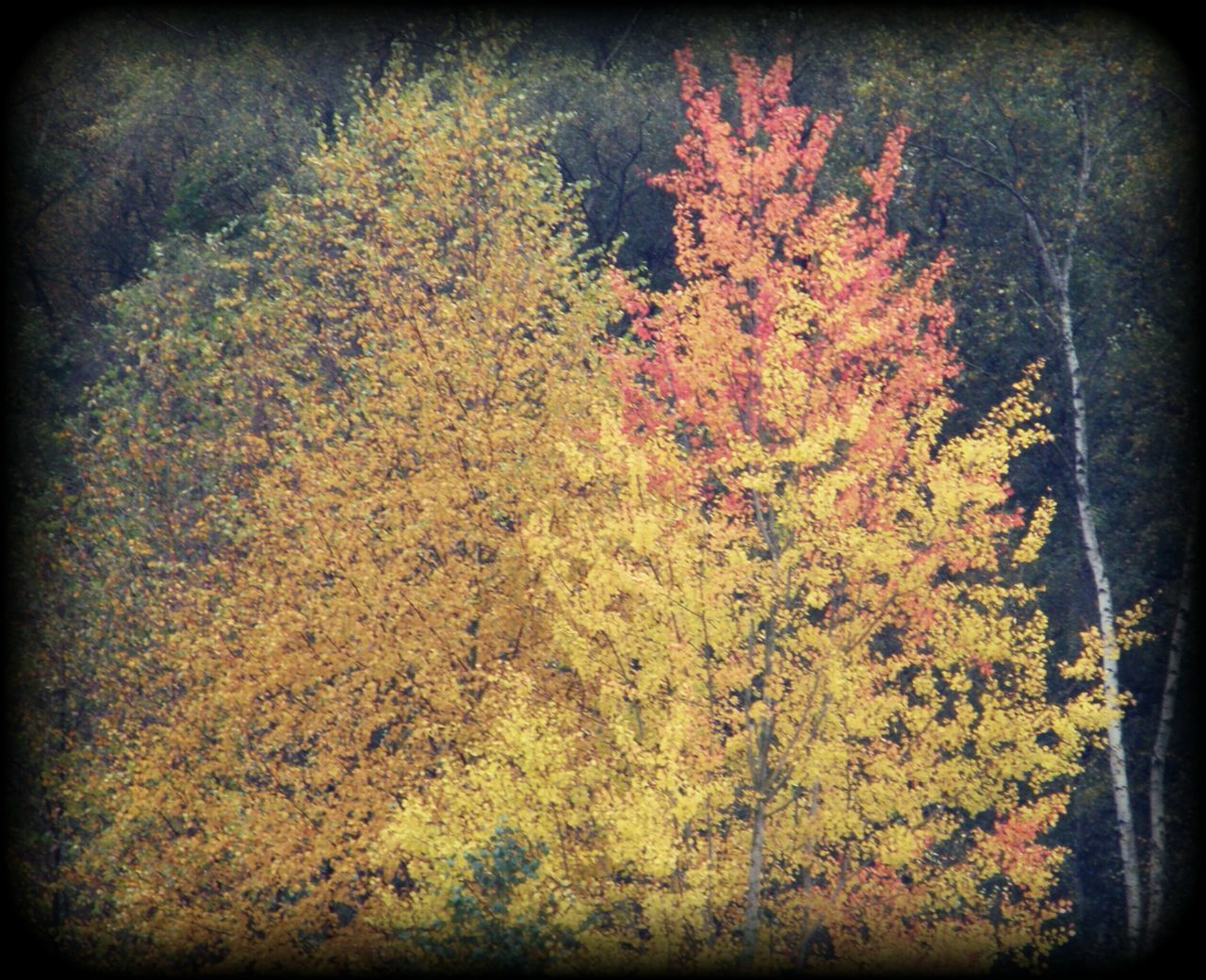 autumn, change, leaf, tree, nature, no people, beauty in nature, growth, maple tree, tranquility, yellow, maple leaf, outdoors, maple, day, close-up, scenics