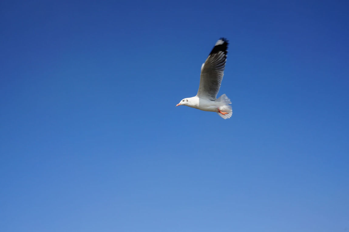 Bird Bird Photography Blue Sky Freedom Nature On The Way Sea Gull Sky Up Up And Away