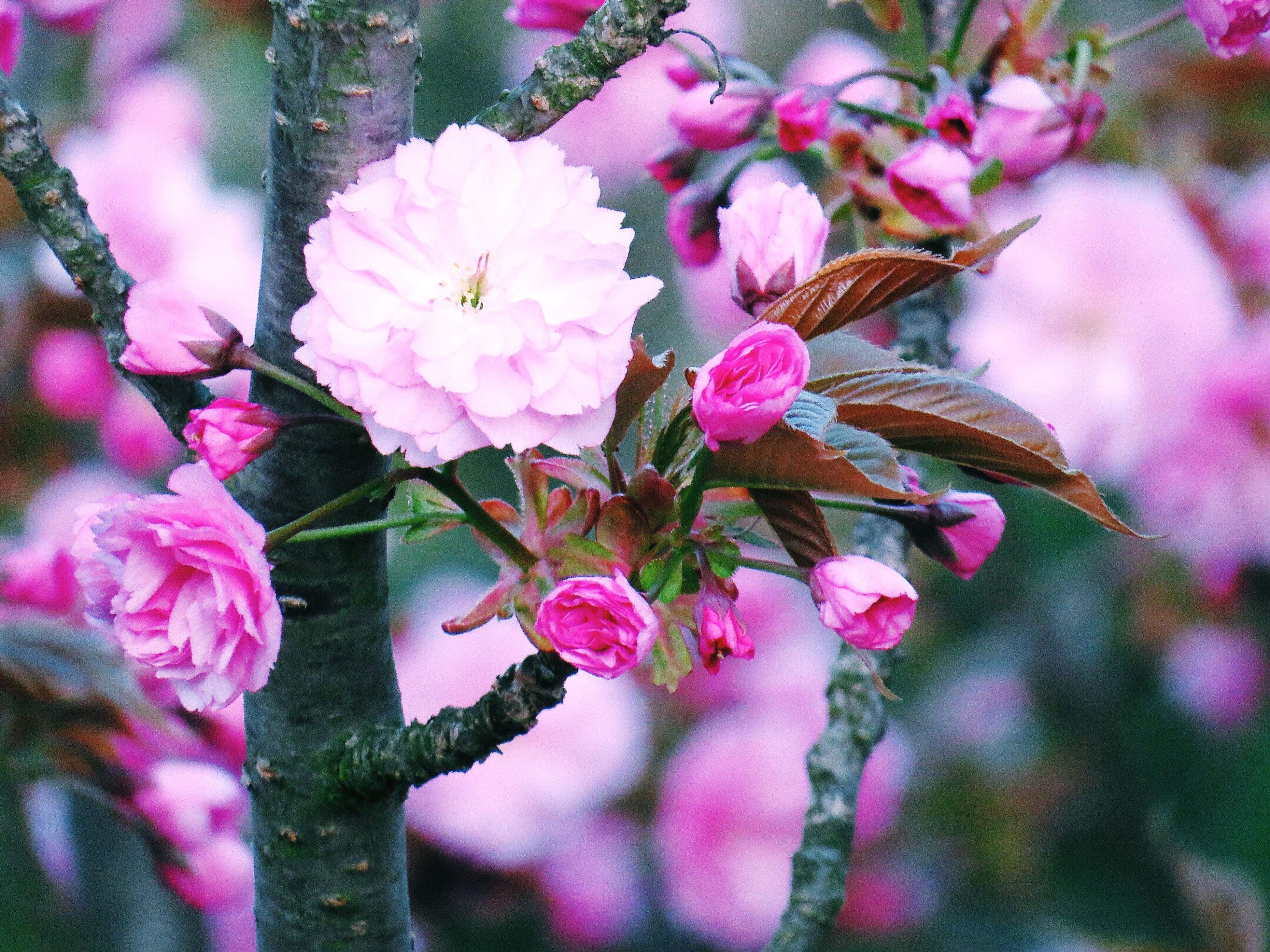 flower, nature, pink color, growth, beauty in nature, fragility, petal, freshness, flower head, plant, close-up, outdoors, blooming, no people, day, rhododendron