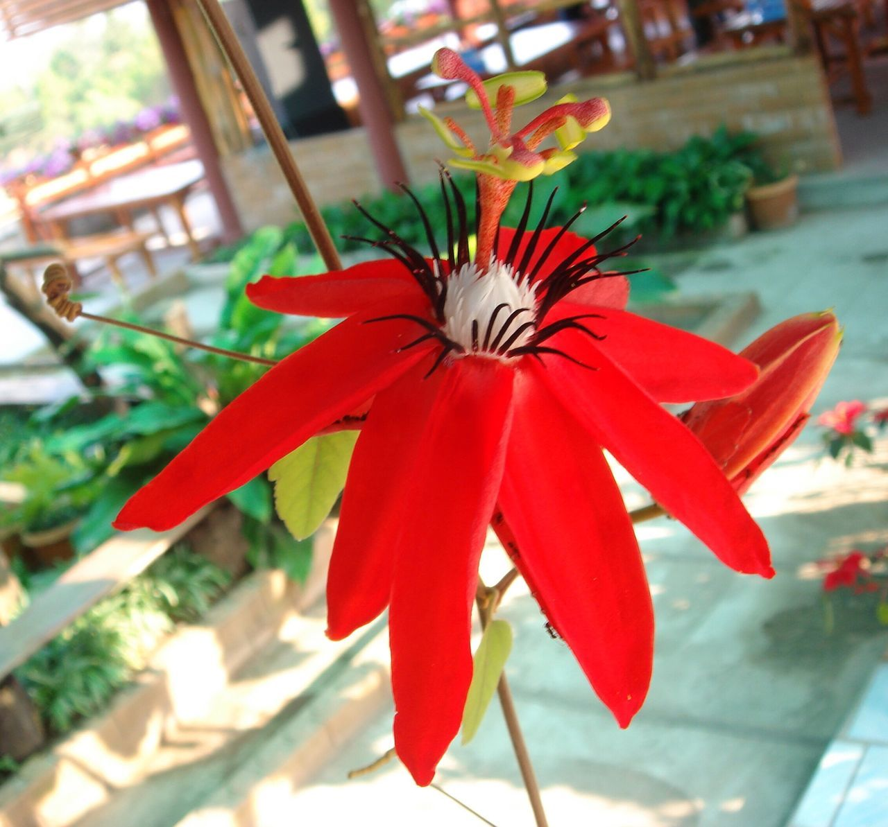 flower, flower head, petal, growth, freshness, focus on foreground, red, fragility, day, beauty in nature, nature, close-up, no people, blooming, outdoors