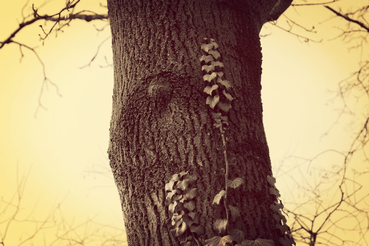 tree trunk, tree, no people, nature, focus on foreground, day, outdoors, textured, low angle view, close-up, growth, beauty in nature, sky