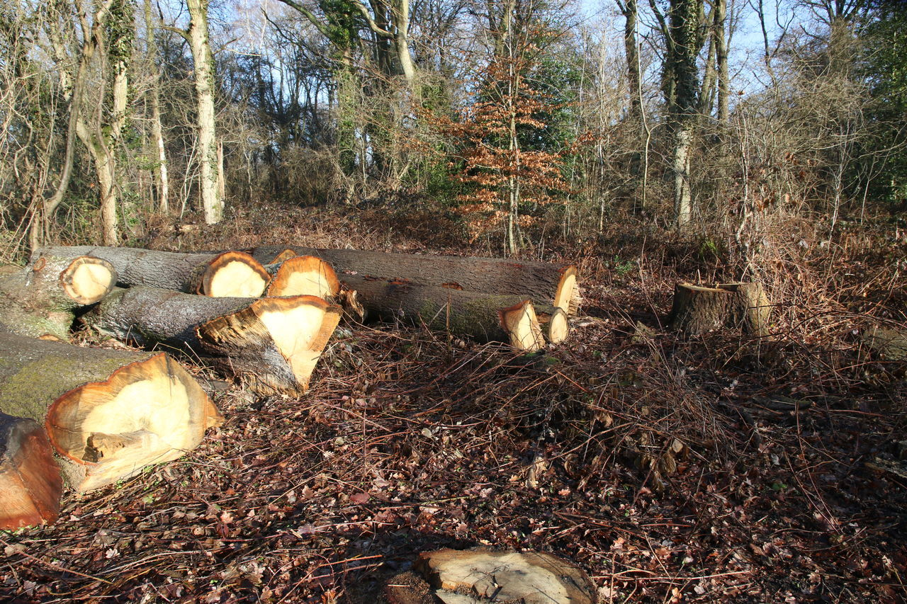 Beauty In Nature Bookham Chopped Trees Day Forest Growth Logs Nature No People Outdoors Stump Sun Through Trees Surrey Countryside Tree Walking